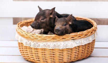 cerdos vietnamitas en una cesta
