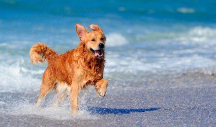 perro corriendo por la playa