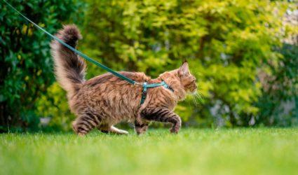Gato paseando