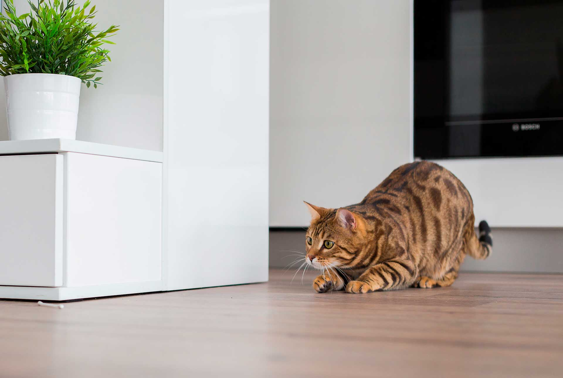 gato en posición de ataque