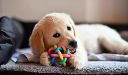 perro tumbado mordiendo un juguete