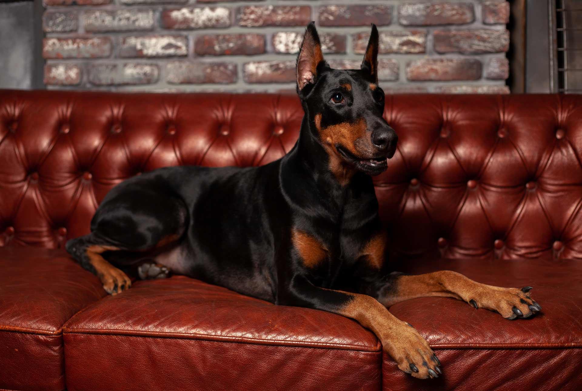 Doberman sentado en un sofá