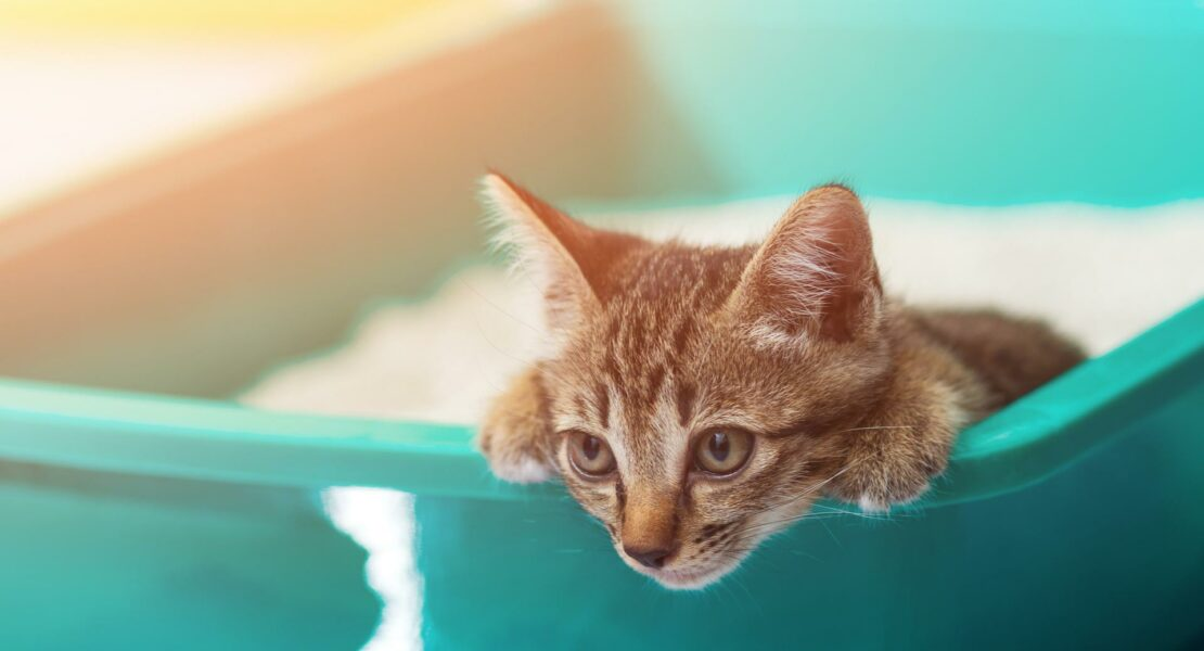Gato arenero