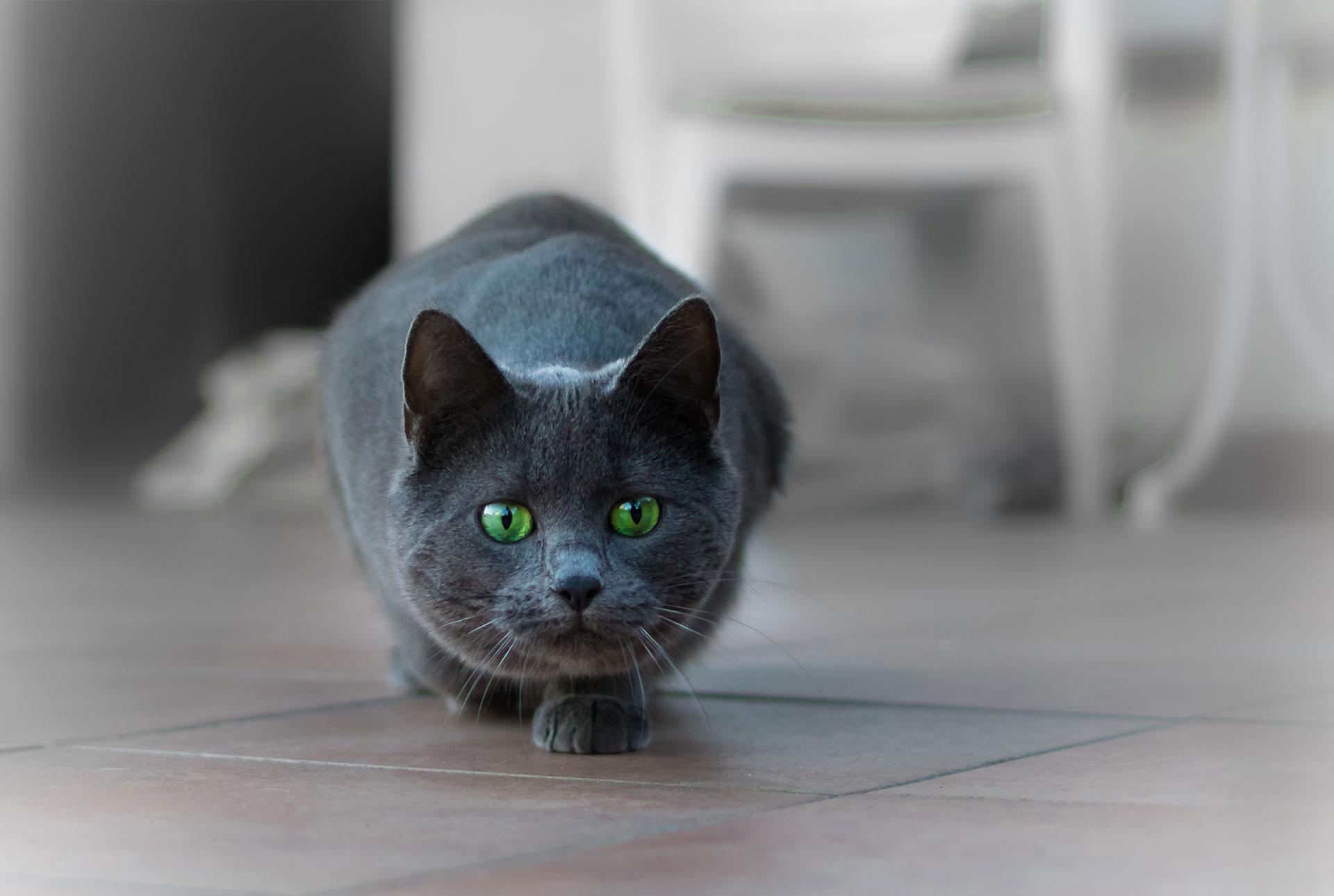 Gato depredador