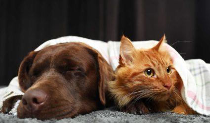 Gato y perro bajo una manta