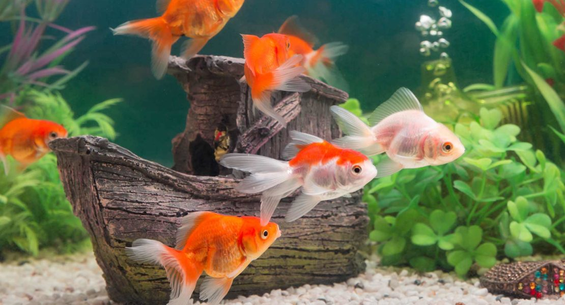 Goldfish nadando en un acuario