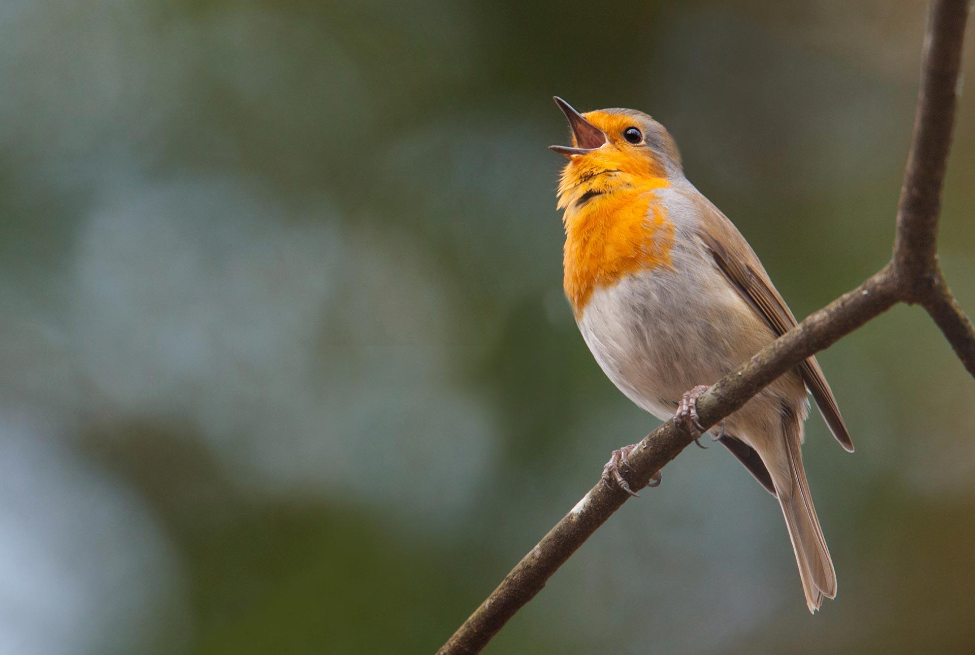 Ave cantando
