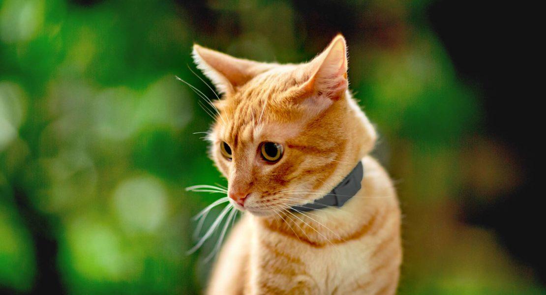 Gato con collar antiparasitario